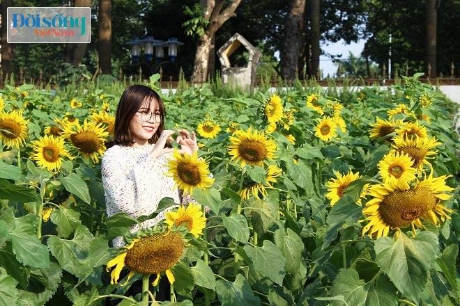 Giới trẻ Hà thành tự sướng bên vườn hoa hướng dương1