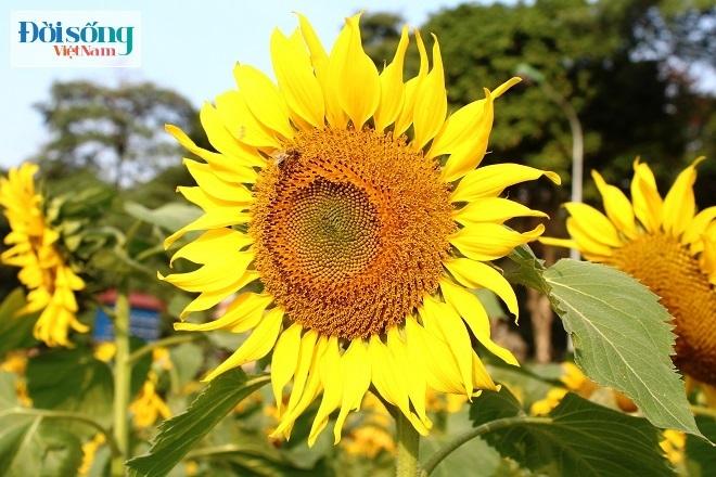 Giới trẻ Hà thành tự sướng bên vườn hoa hướng dương12