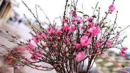 Cách làm hoa đào, hoa mai giấy đón Tết