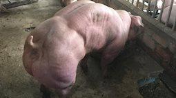 Cánh báo: Thịt lợn lực sĩ cơ bắp cuồn cuộn có khả năng gây vô sinh