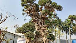 """Choáng ngợp với cây duối """"tình mẫu tử"""" hét giá 15 tỷ tại hội chợ Tết ở Hà Nội"""