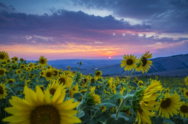cánh đồng hoa hướng dương ở Tuscany