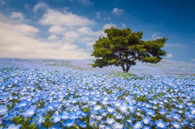 cánh đồng hoa baby xanh ở Nhật Bản