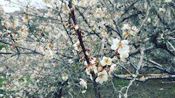 Hoa mận trắng nở khắp trời Mộc Châu rồi đấy, đi ngay kẻo muộn
