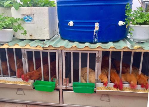 Ngoài vườn rau xanh tốt, anh Tuấn còn dành một khoảng nhỏ trên sân thượng để nuôi gà.