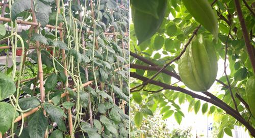 Vì là trồng rau sạch nên ko thể phun thuốc sâu hóa học  Mà các anh chị em hội rau đã chế thuốc sâu từ tỏi , ớt , gừng, pha riệu , hay thuốc lào ngâm riệu, hay quả bồ hòn đun nước lấy để phun , bản thân anh còn dùng thử cả các loại lá nhứ lá đào xay lấy nước phun , hạt na ngâm riệu , lá cà chua xay ra phun anh kết hợp các loại , loại này không khỏi phun kết hợp loại kia vì nó là thuốc từ thực vật nên ko có hại đến sức khỏe con người