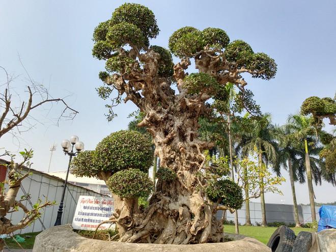 Choáng ngợp với cây duối tình mẫu tử hét giá 15 tỷ tại hội chợ Tết ở Hà Nội - Ảnh 1.