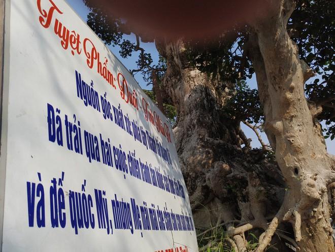 Choáng ngợp với cây duối tình mẫu tử hét giá 15 tỷ tại hội chợ Tết ở Hà Nội - Ảnh 2.