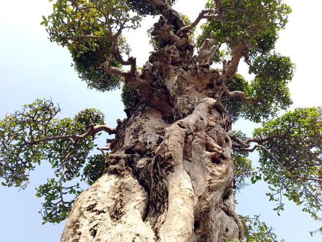 Choáng ngợp với cây duối tình mẫu tử hét giá 15 tỷ tại hội chợ Tết ở Hà Nội - Ảnh 11.