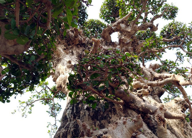 Choáng ngợp với cây duối tình mẫu tử hét giá 15 tỷ tại hội chợ Tết ở Hà Nội - Ảnh 12.