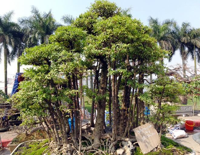 Choáng ngợp với cây duối tình mẫu tử hét giá 15 tỷ tại hội chợ Tết ở Hà Nội - Ảnh 13.
