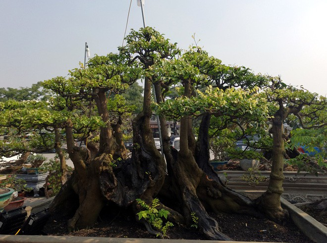 Choáng ngợp với cây duối tình mẫu tử hét giá 15 tỷ tại hội chợ Tết ở Hà Nội - Ảnh 14.