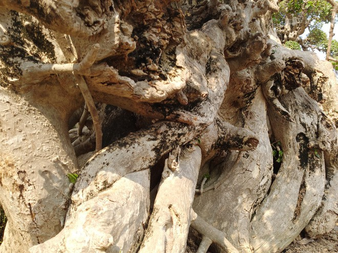 Choáng ngợp với cây duối tình mẫu tử hét giá 15 tỷ tại hội chợ Tết ở Hà Nội - Ảnh 3.