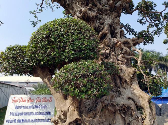 Choáng ngợp với cây duối tình mẫu tử hét giá 15 tỷ tại hội chợ Tết ở Hà Nội - Ảnh 4.
