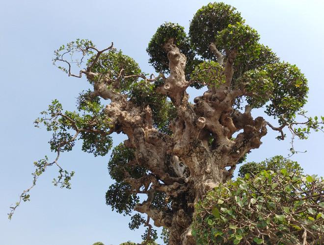 Choáng ngợp với cây duối tình mẫu tử hét giá 15 tỷ tại hội chợ Tết ở Hà Nội - Ảnh 5.