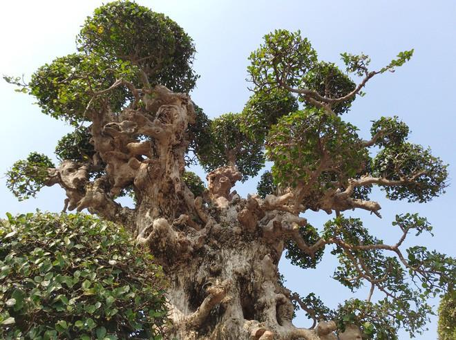 Choáng ngợp với cây duối tình mẫu tử hét giá 15 tỷ tại hội chợ Tết ở Hà Nội - Ảnh 6.