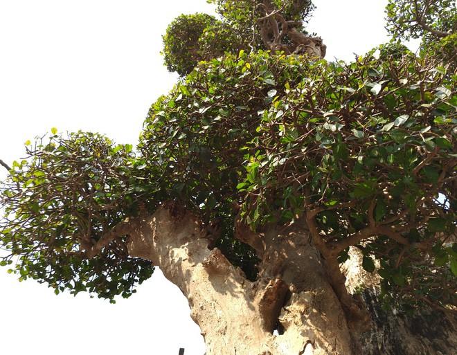 Choáng ngợp với cây duối tình mẫu tử hét giá 15 tỷ tại hội chợ Tết ở Hà Nội - Ảnh 7.