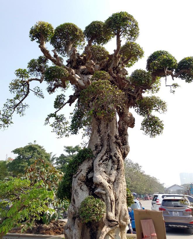 Choáng ngợp với cây duối tình mẫu tử hét giá 15 tỷ tại hội chợ Tết ở Hà Nội - Ảnh 9.