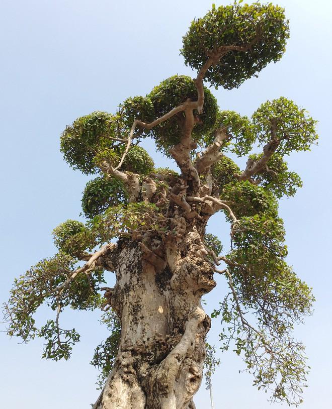 Choáng ngợp với cây duối tình mẫu tử hét giá 15 tỷ tại hội chợ Tết ở Hà Nội - Ảnh 10.