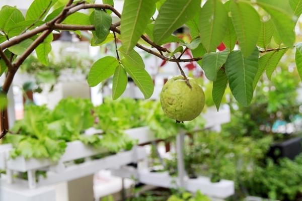 Nữ doanh nhân TP HCM cho rằng, làm đất là khâu quan trọng nhất giúp vườn cây tránh được sâu bệnh. Trước khi trồng cây, chị Thanh Hiền thường bỏ nhiều công sức xử lý đất. Chị bón thêm phân bò, trùn quế, xác cá dưới gốc để cây sai quả và cho trái ngọt.