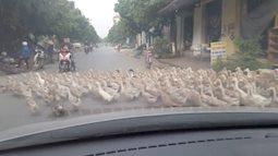 Hàng ngàn con vịt ở Tây Ninh sang đường đúng luật, dân mạng sửng sốt