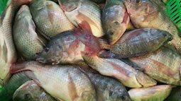 Ngon đến mấy cũng đừng bao giờ cho gia đình ăn cá rô phi, bạn sẽ SỐC khi biết lý do đấy. Hại không tưởng, quá ghê sợ
