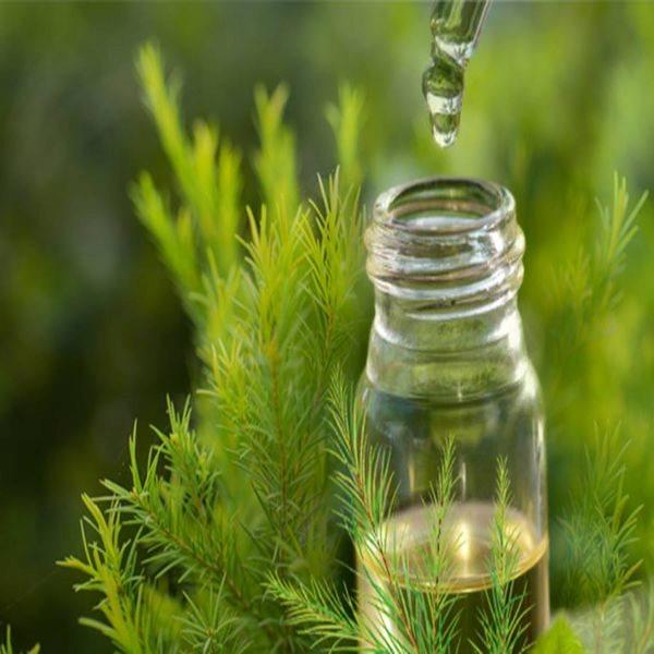 Sử dụng tinh dầu tràm để phòng ngừa dịch cúm A hình ảnh