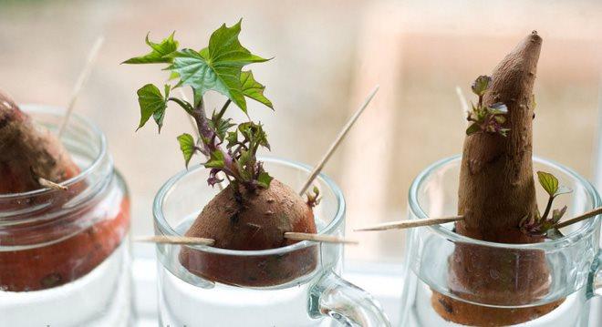 Hướng dẫn cách trồng khoai lang để bàn - xu hướng đang rầm rộ trong giới văn phòng - Làm cha mẹ