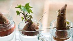 Hướng dẫn cách trồng khoai lang để bàn - xu hướng đang rầm rộ trong giới văn phòng
