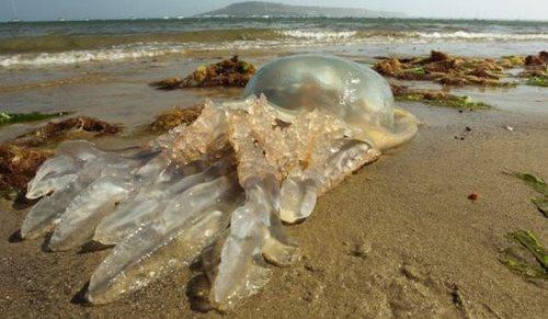 Sứa biển là mối đe dọa rất lớn đối với người đi biển hình ảnh