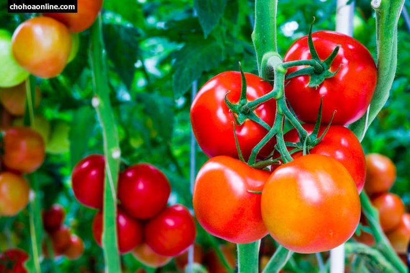 Cà chua chín tự nhiên hình ảnh