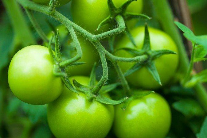 Cà chua xanh chứa hàm lượng chất độc solanine rất lớn hình ảnh