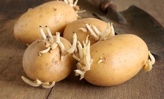 Khoai tây mọc mầm gây độc cho cơ thể hình ảnh