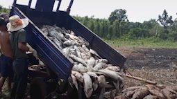 Nếu ăn phải cá chết, khả năng bị ngộ độc rất cao