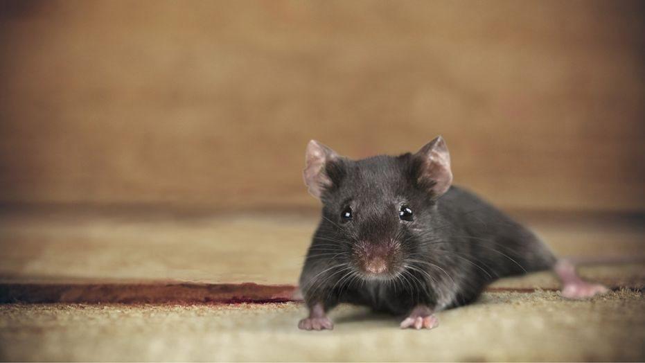 Mẹo nhỏ để đuổi chuột ra khỏi nhà hình ảnh