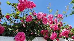 Những loại hoa trồng ban công lung linh, rực rỡ.