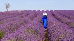 Đến nước Pháp thăm cánh đồng hoa oải hương đẹp không không muốn về