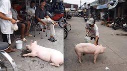 Đáng yêu chú lợn quấn quanh ông chủ, ai nhìn cũng thích