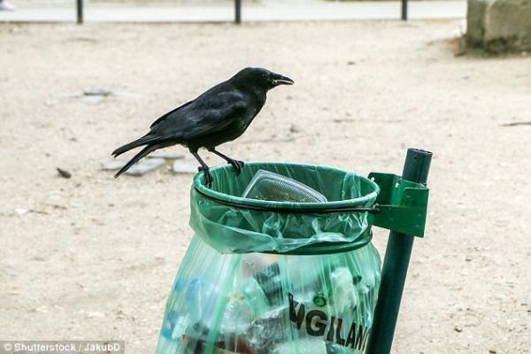 Chuyện chỉ có ở tây: Quạ được huấn luyện để nhặt rác trong công viên