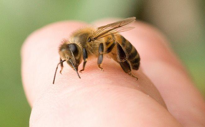 Bị ong đốt có nguy hiểm không?