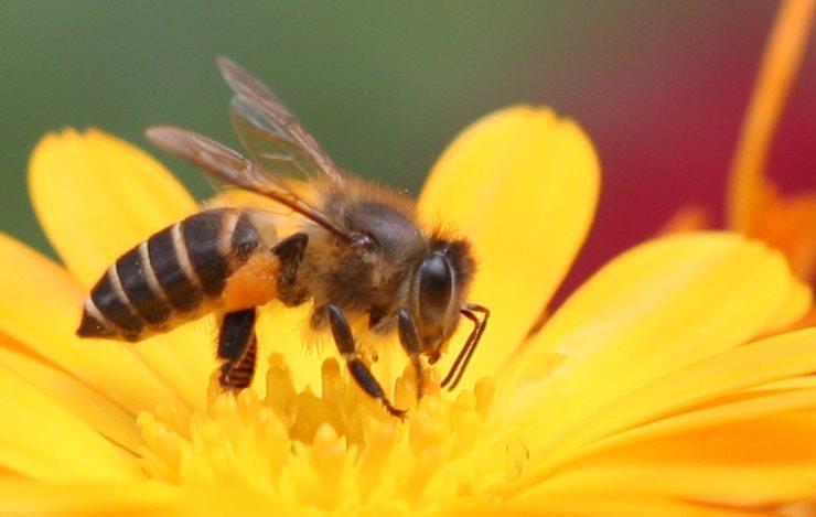 Ong mật hình ảnh