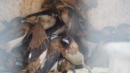 Mua chim phóng sinh mùa Vu Lan, nhìn đàn chim kêu nháo nhác khiến ai cũng thương