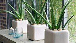 Muốn sức khỏe dồi dào - phát tài phát lộc thì hãy trồng 8 loại cây cảnh sau trong nhà