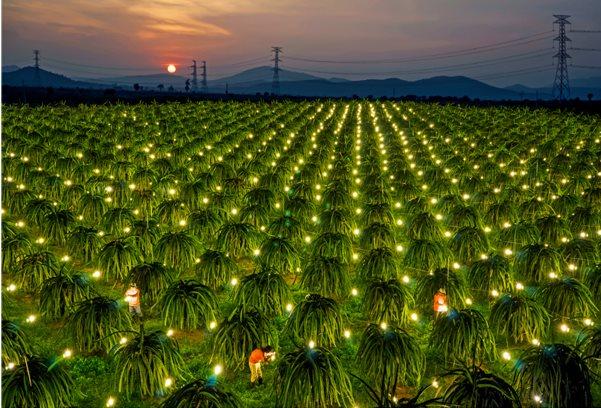 Mê mẩn vẻ đẹp của vườn thanh long ở Bình Thuận
