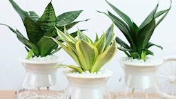Hút sạch bức xạ sóng điện từ trong nhà để bảo vệ sức khỏe gia đình với 5 loại cây sau