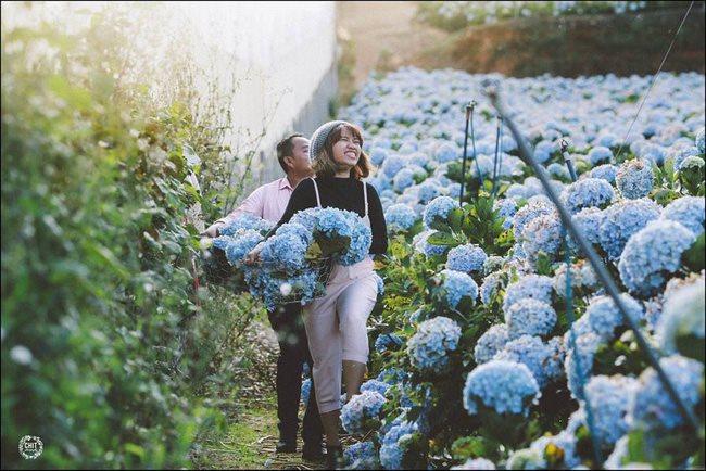 Đã mắt với vườn cẩm tú cầu đẹp như tranh ở Đà Lạt