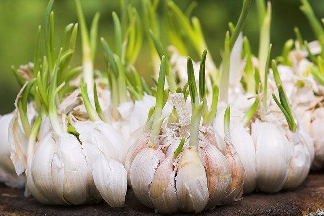 Khoai tây mọc mầm thì độc hại nhưng tỏi mọc mầm lại là thần dược