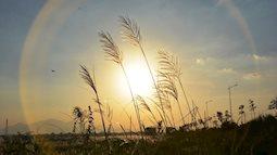 Tháng 11 đến sông Trà Khúc - Quảng Ngãi ngắm cánh đồng cỏ lau mộng mơ