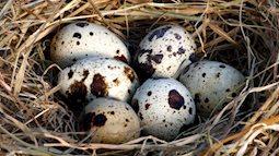 Bất ngờ về công dụng phòng the tuyệt vời mà trứng chim cút mang lại cho các đấng mày râu