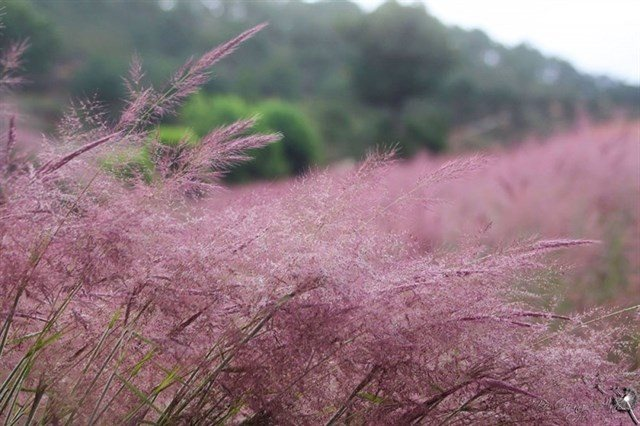Tháng 11 đừng bỏ lỡ mùa cỏ hồng Langbiang
